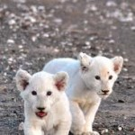 White Lion Cubs born at Sanbona